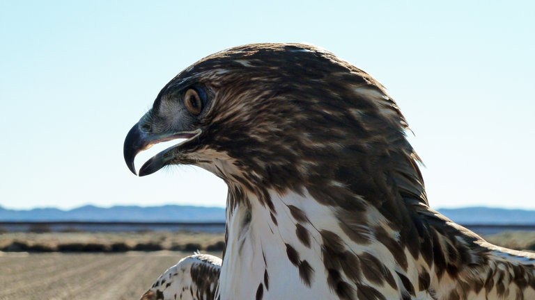 """Glider"" the Red-tailed Hawk"